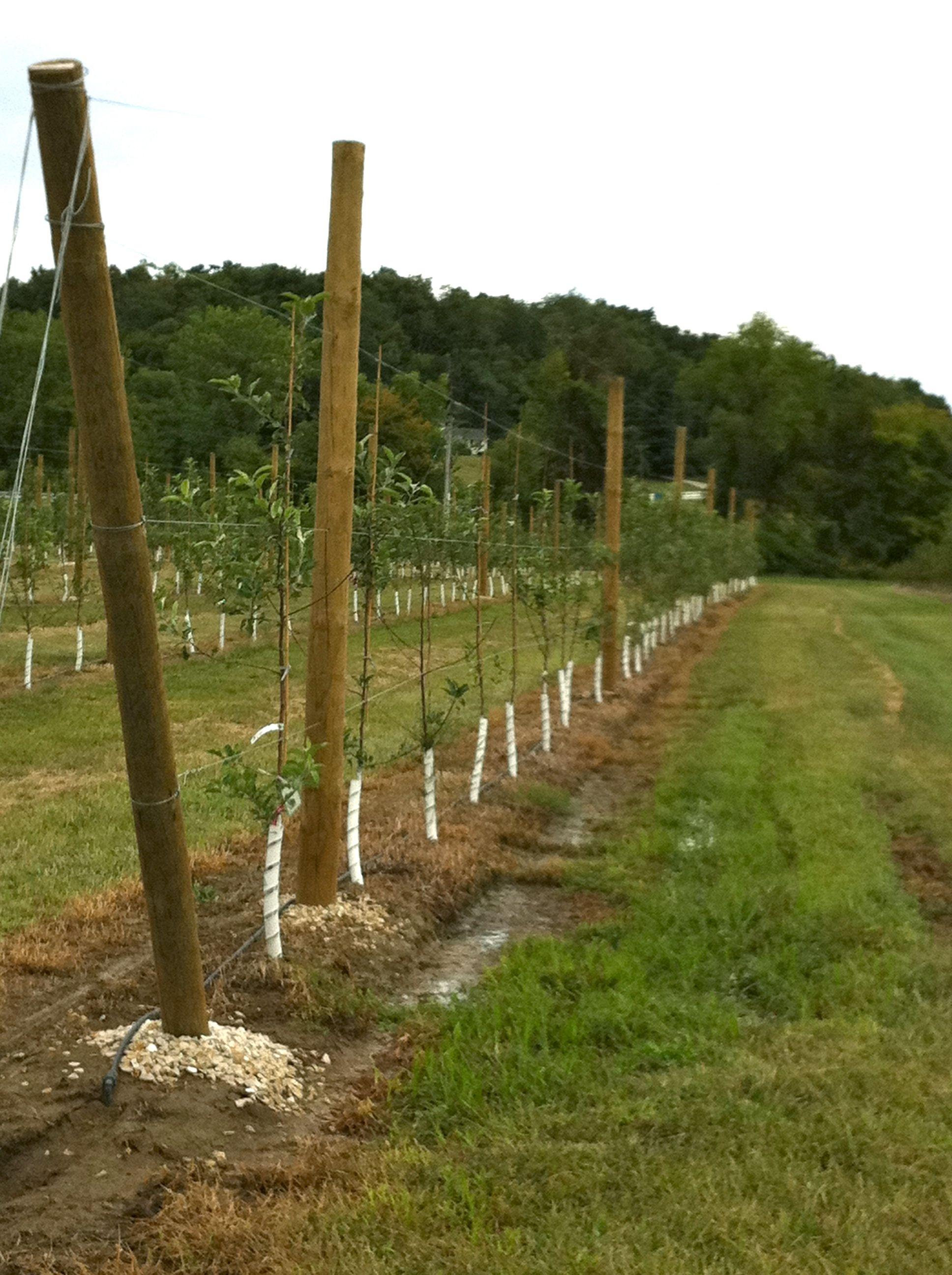 high density apple tree planting 2011 starkbros high density