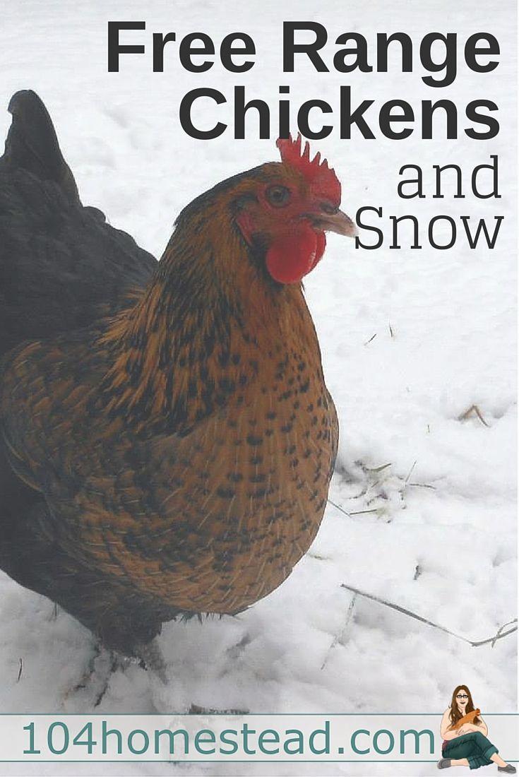 The Plight of Free Range Chickens | Chickens backyard ...