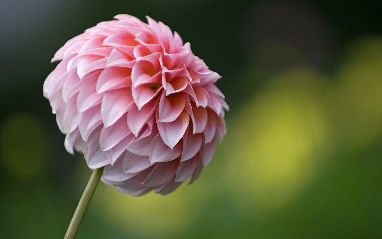 Dalia en flor deco flores pinterest aries here we share information about dahlia flower dahlias are related to the sunflower daisy chrysanthemum and zinnia and were used to treat epilepsy izmirmasajfo Gallery