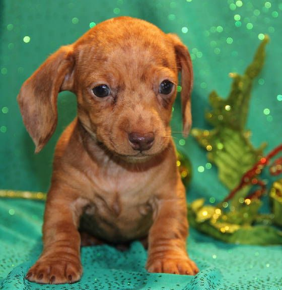 Free Miniature Dachshund Puppies Bred Raised And Loved In Our