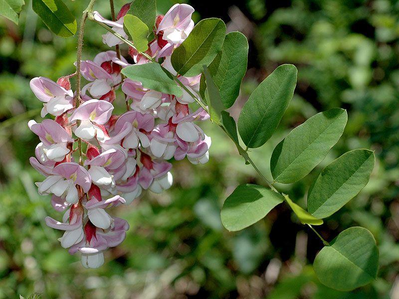 Robini Hispida Acacia Http Fichas Infojardin Com Arboles Robinia Hispida Acacia Rosa Acacia Rosada Htm Plants Flora Flowers