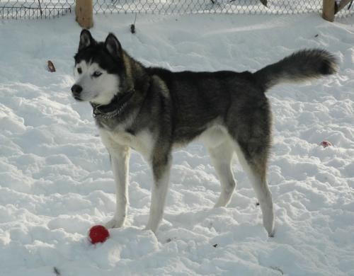 Adopt Lester On Siberian Husky Dog Cute Husky Husky