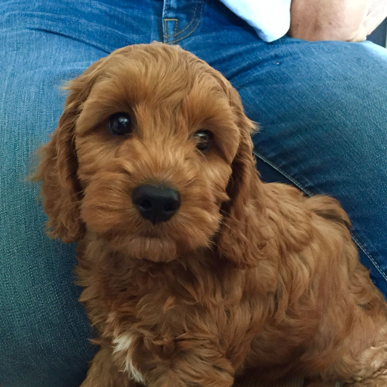 Teddy The Cockapoo Age 8 Weeks Colour Apricot Cockapoo
