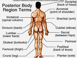 Body regions anatomy a p pinterest anatomy body regions anatomy ccuart Gallery