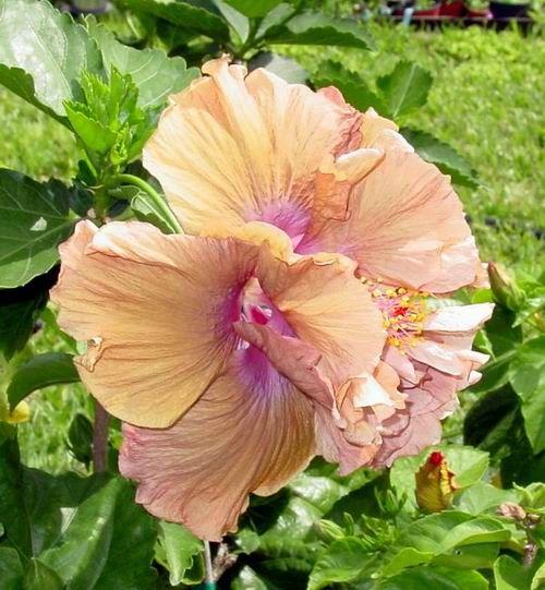 Brown Hibiscus Flower Hibiscus Flowers Hibiscus Tree Hibiscus