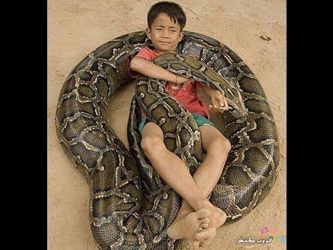 Most Amazing Snake Attacks King Cobra Attacks Python Snake Vs Mantis Snake Burmese Python Reptiles