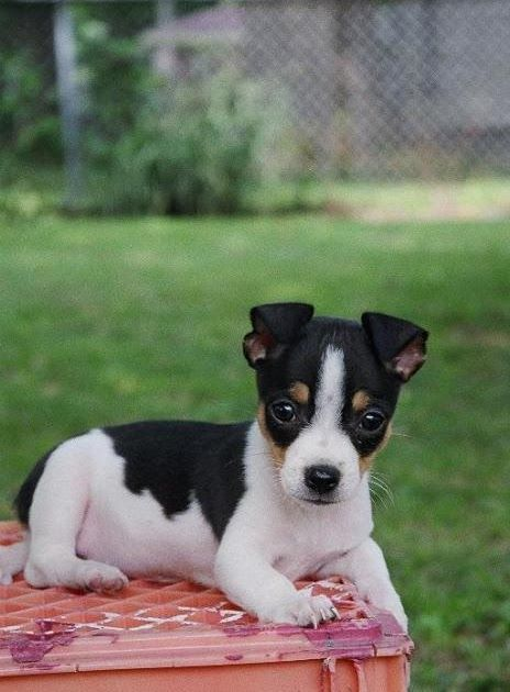 Photo of Rat Terrier Dog The Rat Terrier is an American dog breed with a pure …