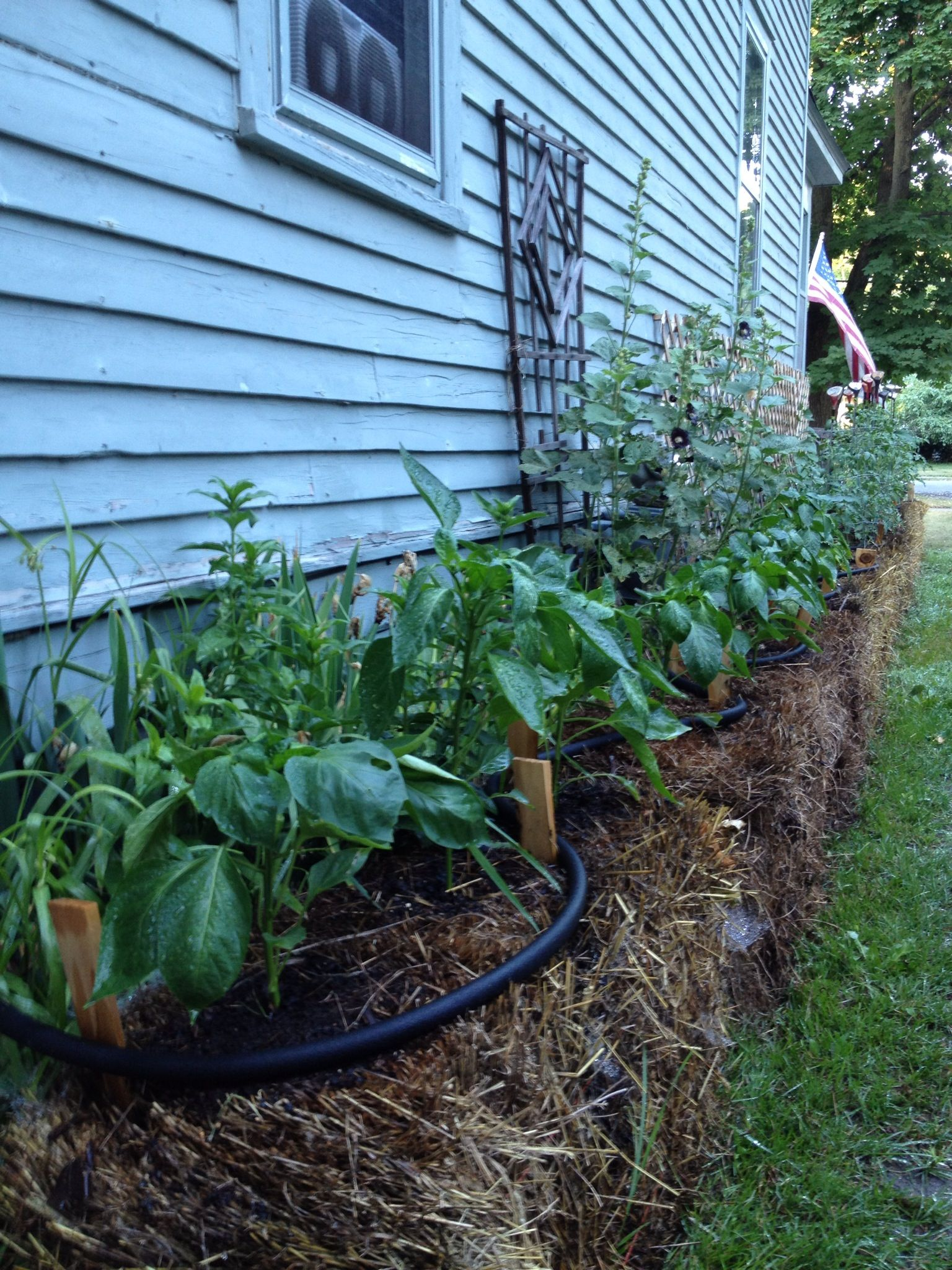 Straw bale garden - week six   Kitchen Garden   Pinterest   Straw ...