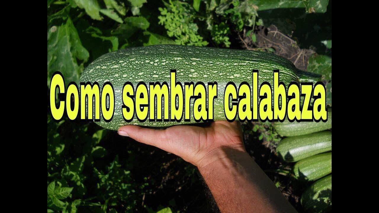 Como Sembrar Calabaza En Maceta Cultivo De Calabaza Como Cultivar Calabazas Plantar Calabazas