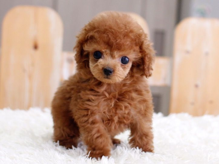 Full grown toy poodle
