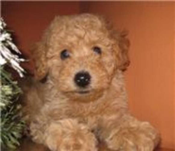 Miniature Poodle Dogs For Sale Purebred Miniature Poodle
