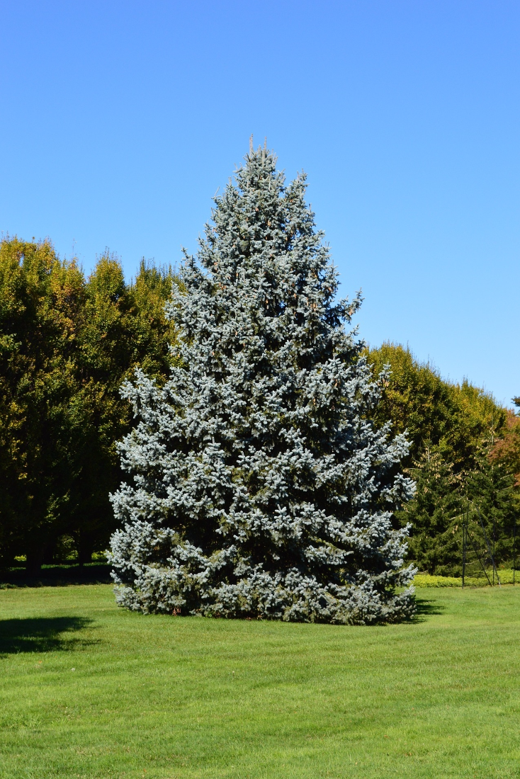 Spruce Trees Are Beautiful Evergreen Conifers Spruce Are Bushy And Can Be Often Found With Gr Blue Spruce Tree Types Of Evergreen Trees Colorado Blue Spruce