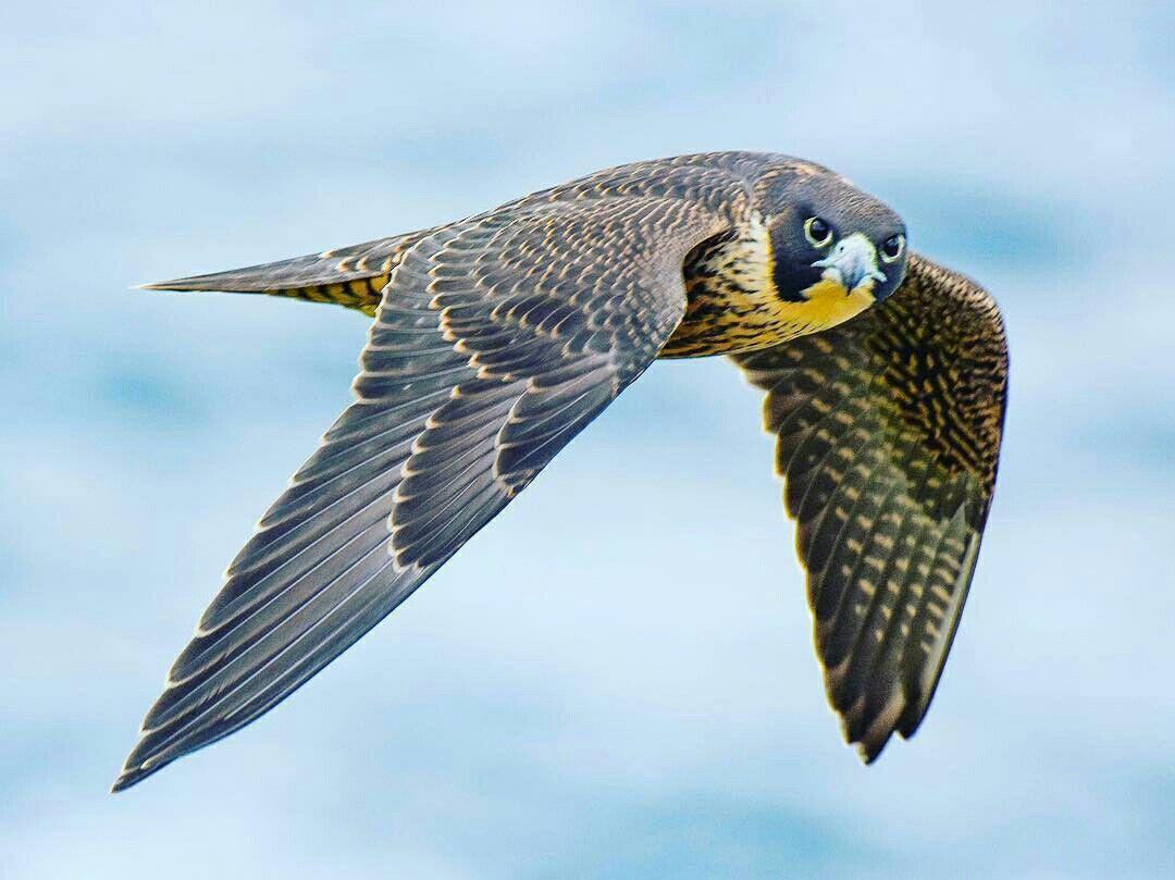 Take A Picture It Lasts Longer Pet Birds Raptors Bird Peregrine Falcon