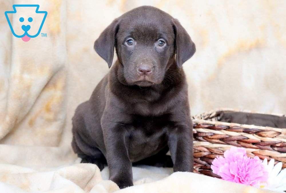 Kisses Labrador Retriever Labrador Labrador Retriever Puppies