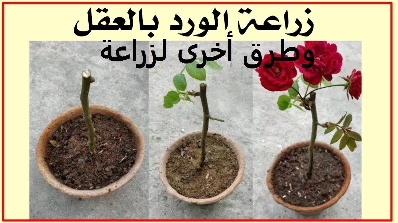 جورى ورد بلدى طرق تكاثر من الف للياء حلقة 33 Plants Planters Rose