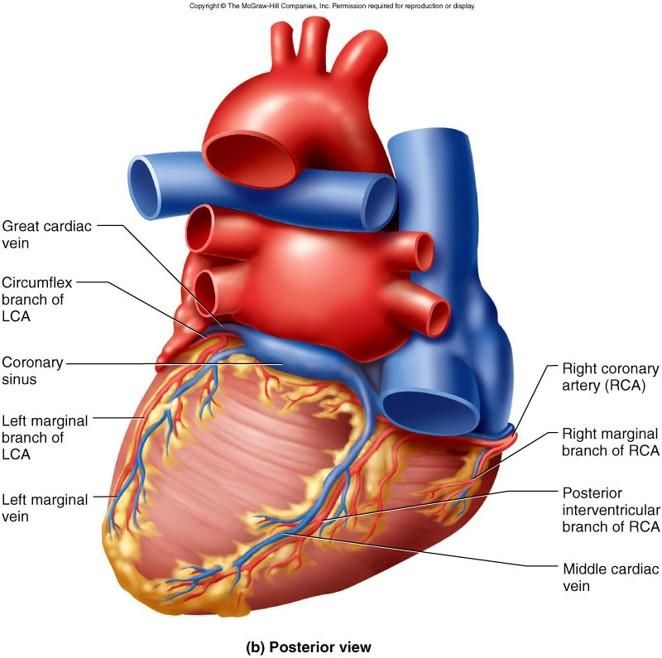 Pin By Traci Nelson On Coronary Circulation In 2018 Pinterest