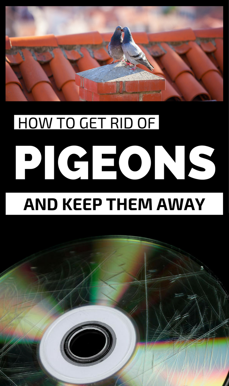Superieur How To Get Rid Of Pigeons And Keep Them Away