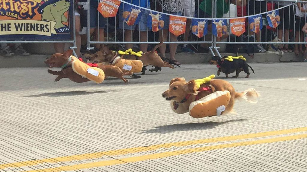 Sprinting dachshunds dressed as hot dogs