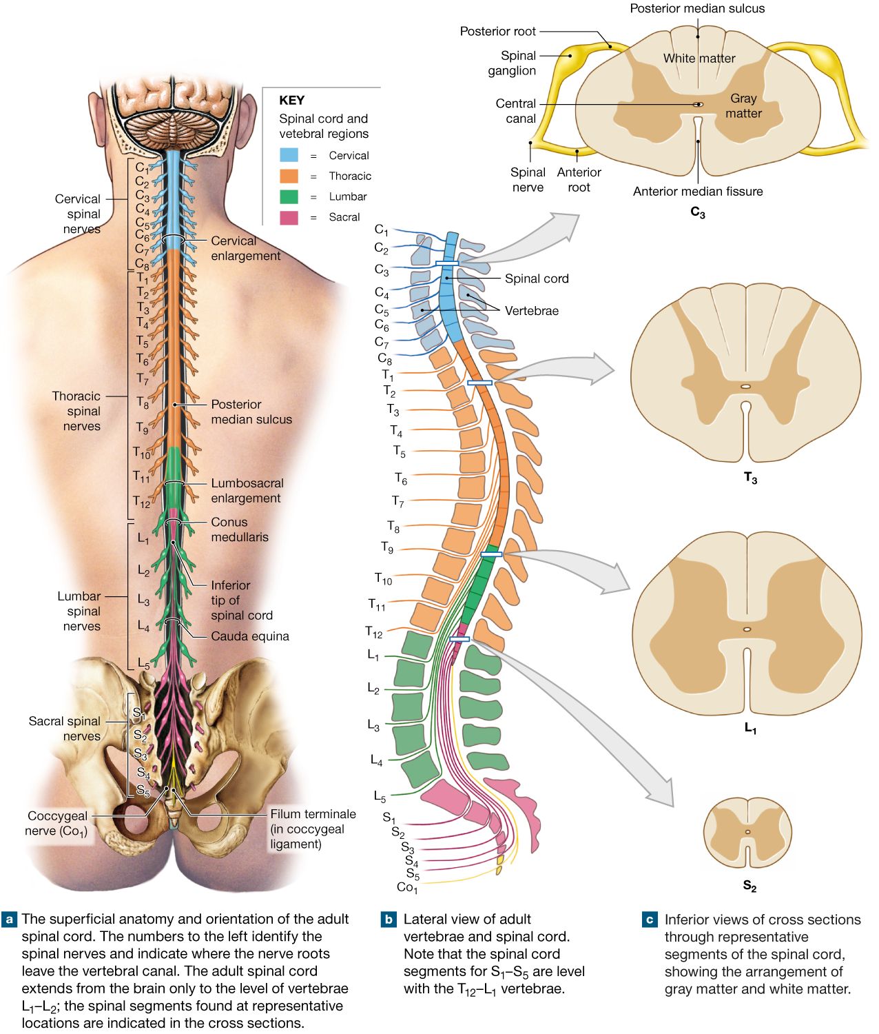 13 2 The Spinal Cord Is Surrounded By Three Meninges And