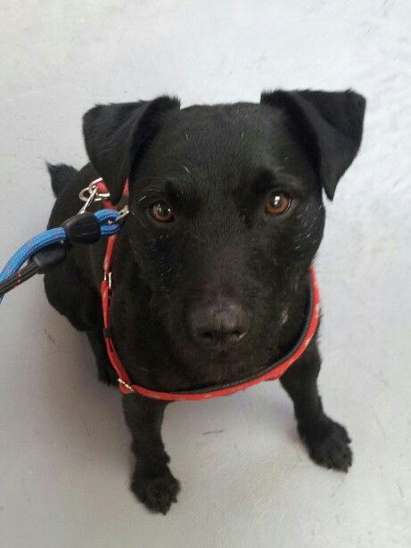 Bosley Patterdale Terrier Patterdale Terrier Dog Breeds List Dog Cat