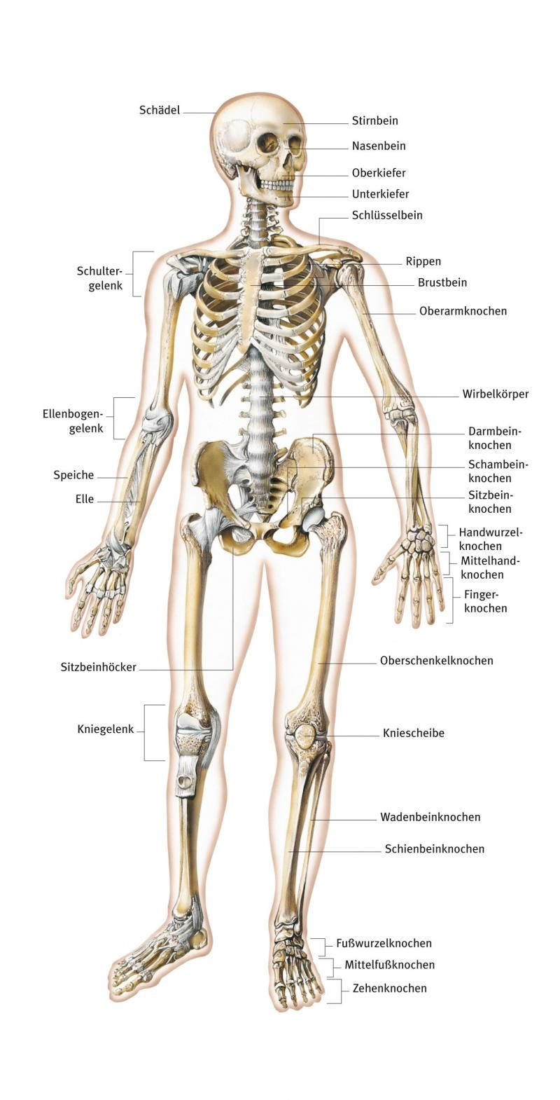 skelett aus dem lexikon r cken back