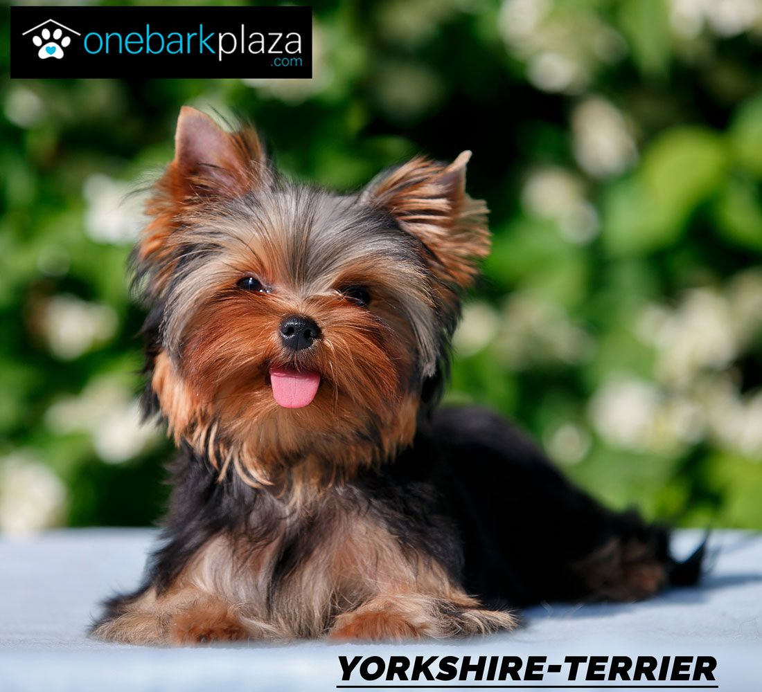 Cute Yorkieshire Puppy Yorkshire Terrier Yorkshire Terrier Puppies Training Your Dog