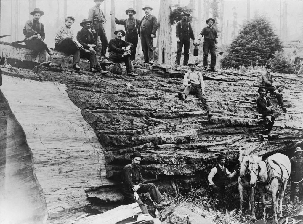 Album Historic Images Of Fortuna And The Area Bark Peeler Crew On A Giant Redwood All About Fortuna The Friendly City Giant Tree Old Pictures Old Trees