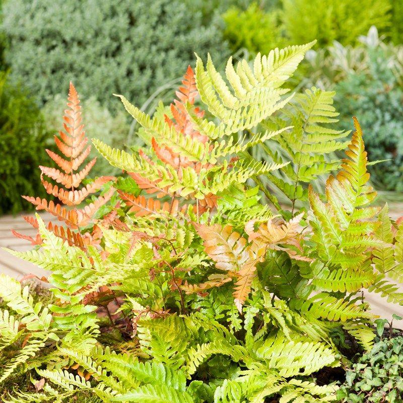 Dryopteris Erythrsora Japanese Shield Fern Dobbies Garden Centres Evergreen Ferns Plants Buy Garden
