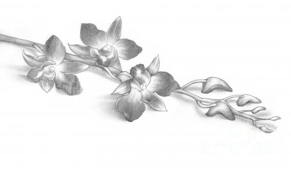 pencil-drawing-of-orchid-flowers-evelyn-sichrovsky.jpg (600×351 ...