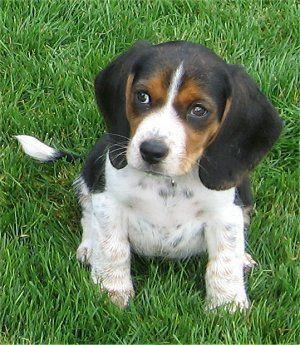 Riley, der Pocket Beagle Welpe im Alter von 4 Monaten