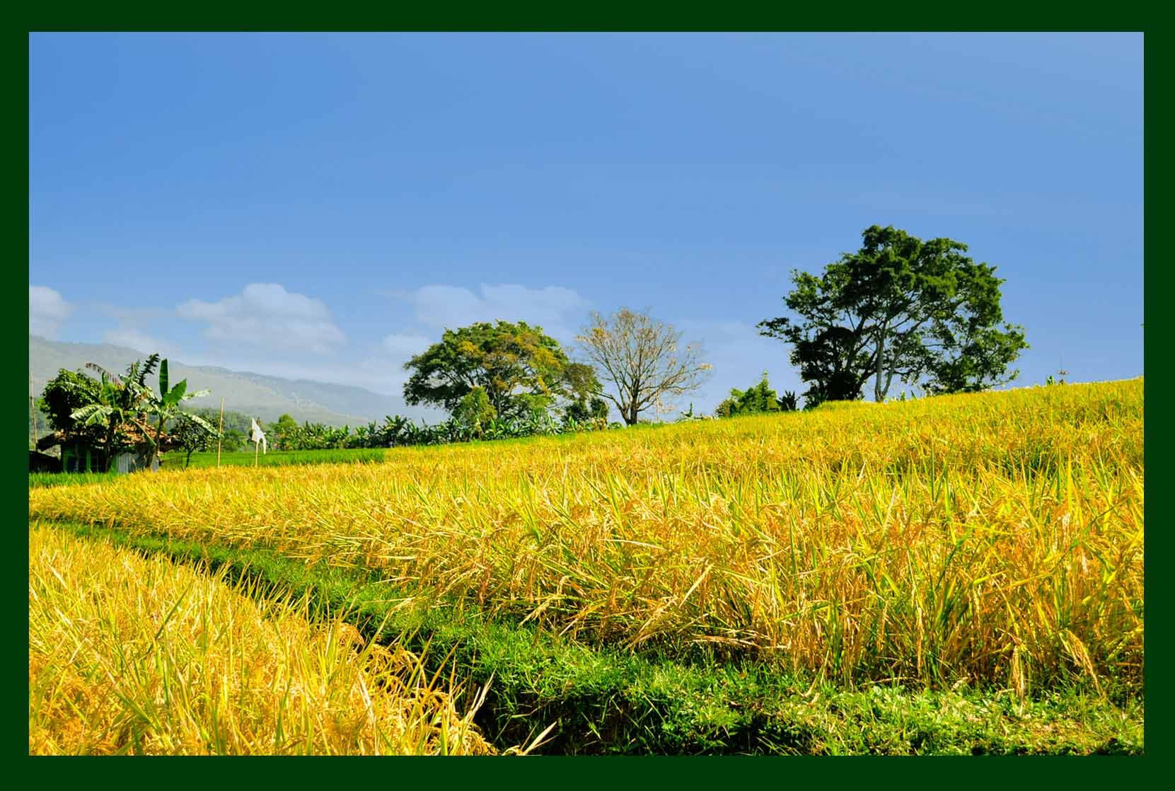 gambar pemandangan sawah padi the golden land of indonesia