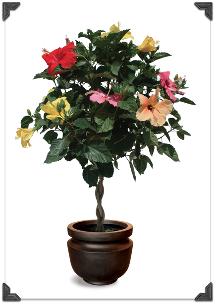 Tri Colour Hibiscus Tree Outside Decor And Garden Hibiscus Tree