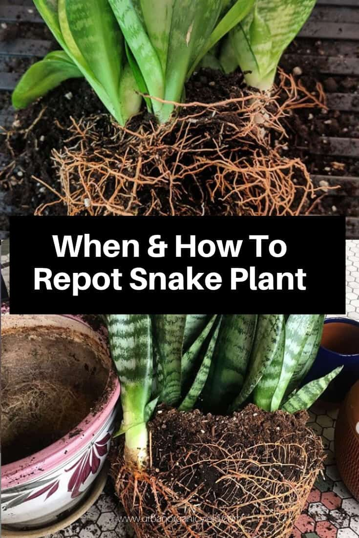 When And How To Repot Snake Plant #plantlife