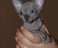 Blue Eyed Hairless Kitten I M Thinking About Getting A Hairless Cat In The Future Cute Animals Hairless Kitten Kittens
