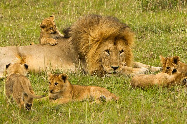 And Cub Their Male Lion