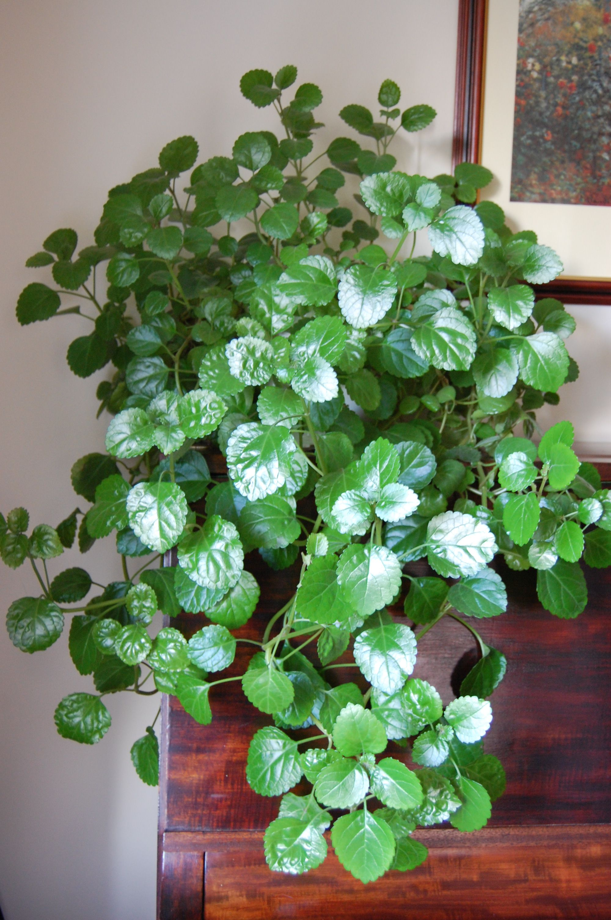 Swedish Ivy plant - will someone please acknowledge it has the ...