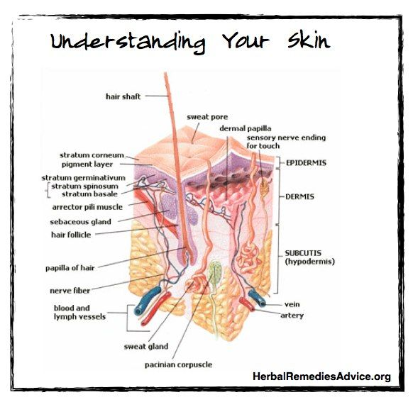 There are three skin layers of the integumentary system ...