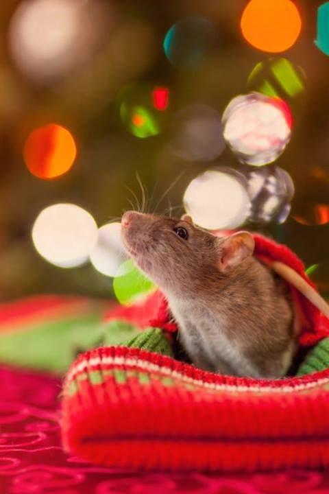 Mousie waiting for a Santa....