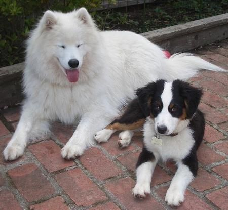 Aww I Used To Have A Samoyed My Two Favorite Breeds Together 3