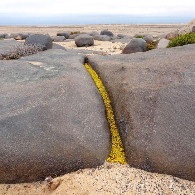 "Temporary Installation: thousands of yellow Nidorella flowers from a farm 300km away, arranged in a rock crevice. ""Black Rocks"" at Wlotzkasbaken, Namib Desert, by IMKE RUST"