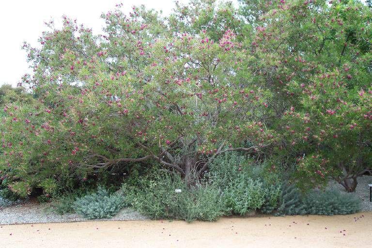 chilopsis linearis burgundy - Google zoeken