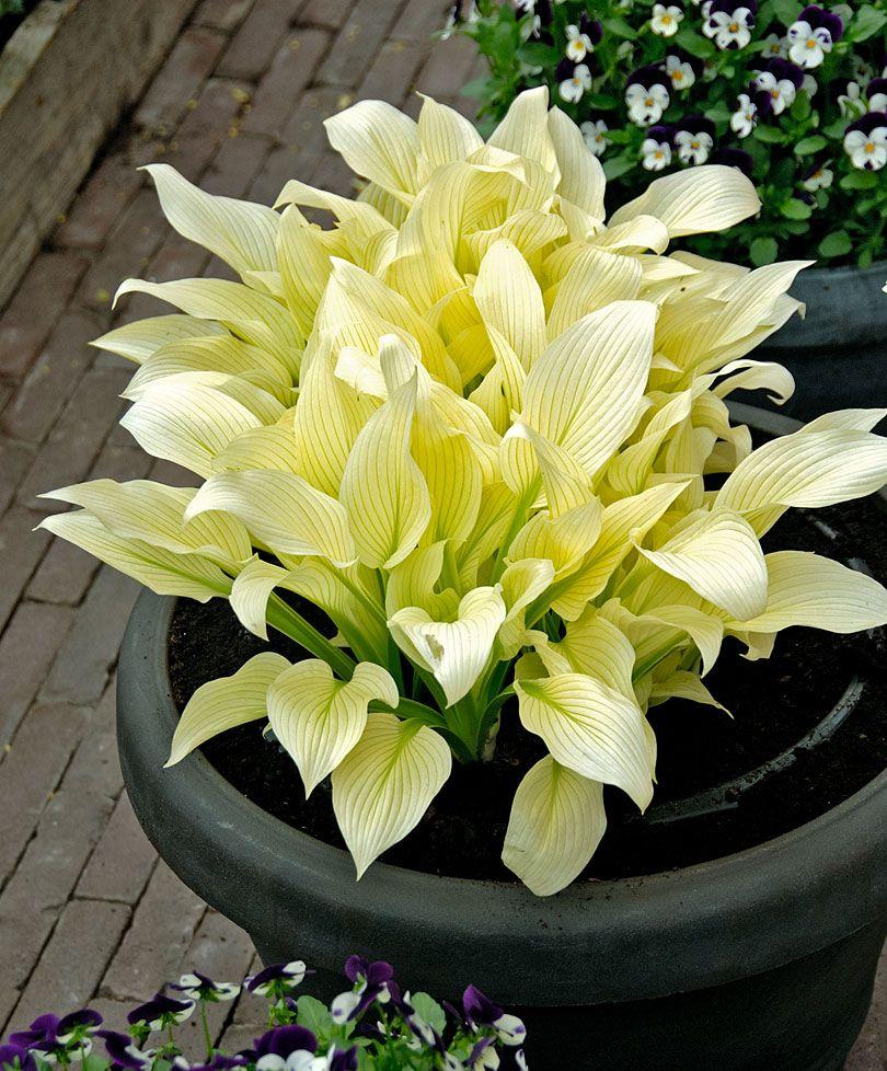 hosta 39 white feather 39 stauden bakker halbschatten pinterest pflanzen g rten und hosta. Black Bedroom Furniture Sets. Home Design Ideas