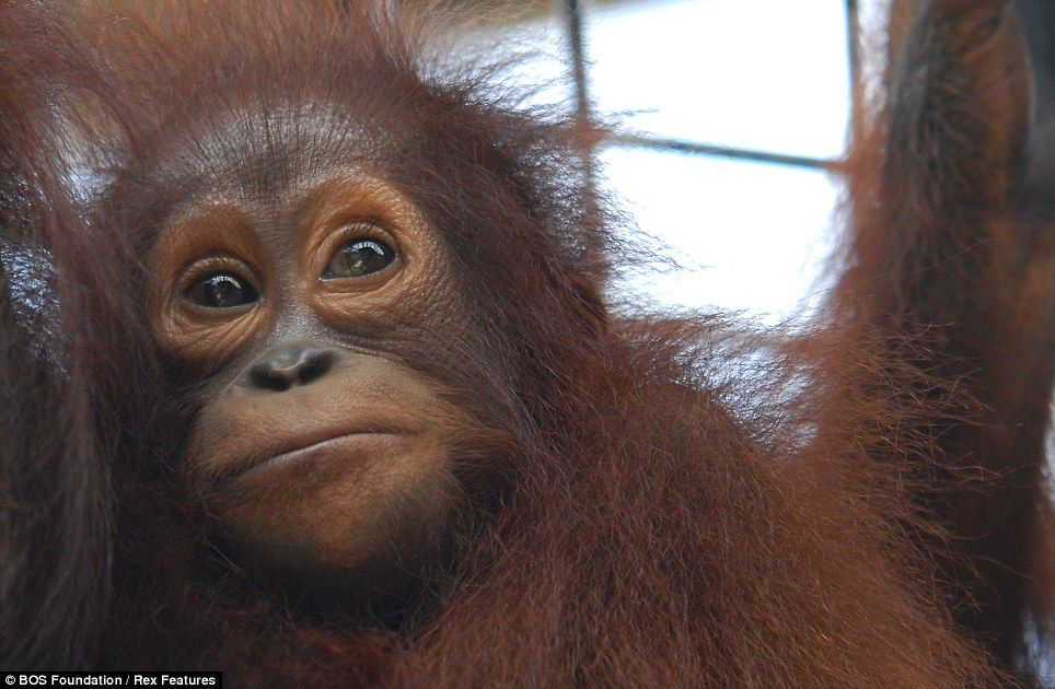 Overjoyed orangutans go ape as they are released into the