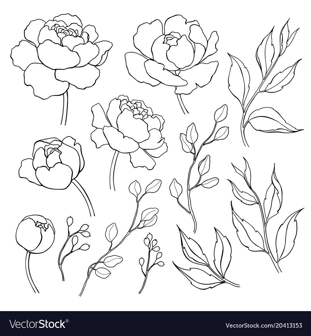 Peony Flower And Leaves Line Drawing Hand Vector Image On Vectorstock Flower Line Drawings Flower Drawing Peony Drawing