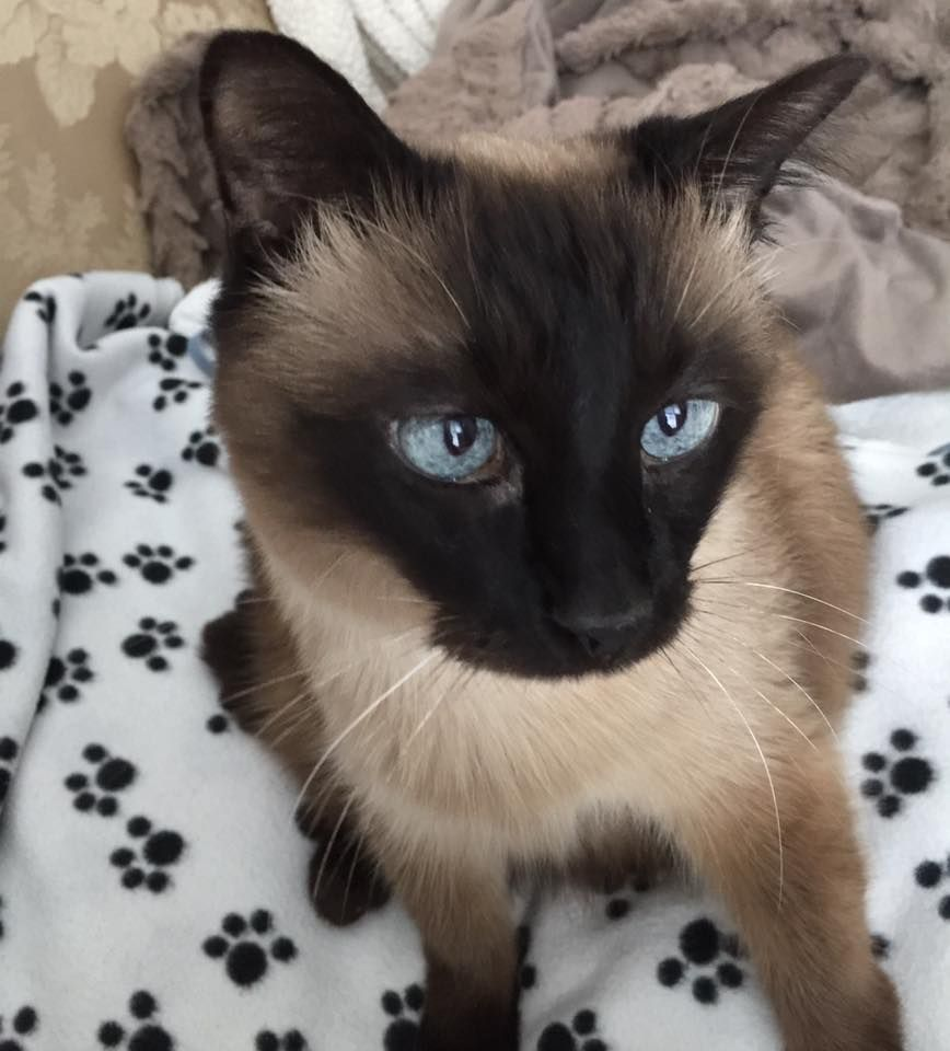 Those eyes are intoxicating. Siamese cats, Cats, Cat shots
