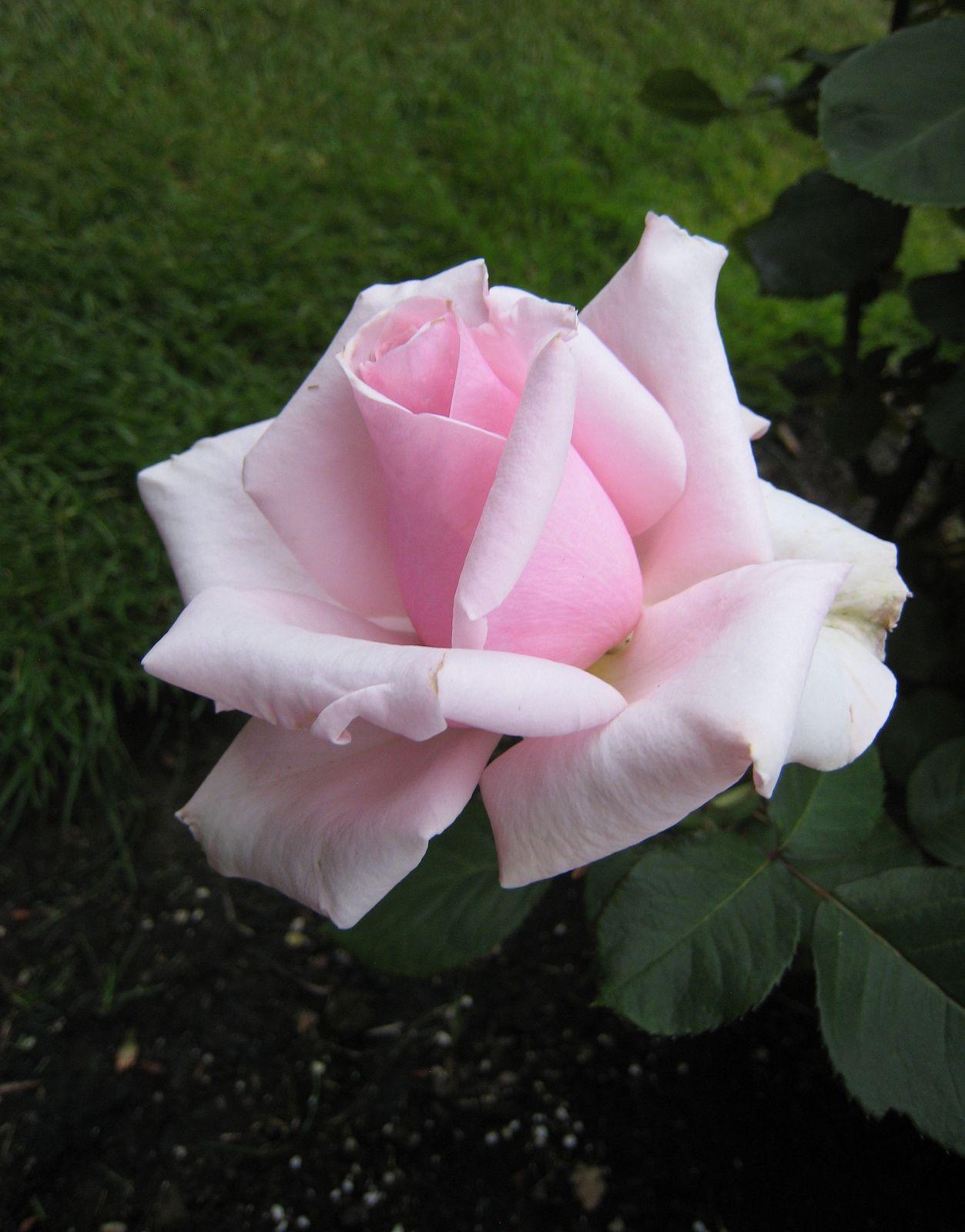 'Savoy Hotel' hybrid tea rose