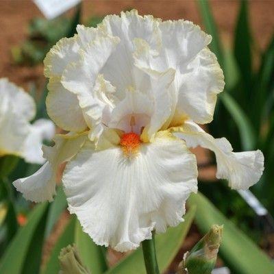 ANGEL'S AWE Tall Bearded Iris. ANGELIC Beauty!...