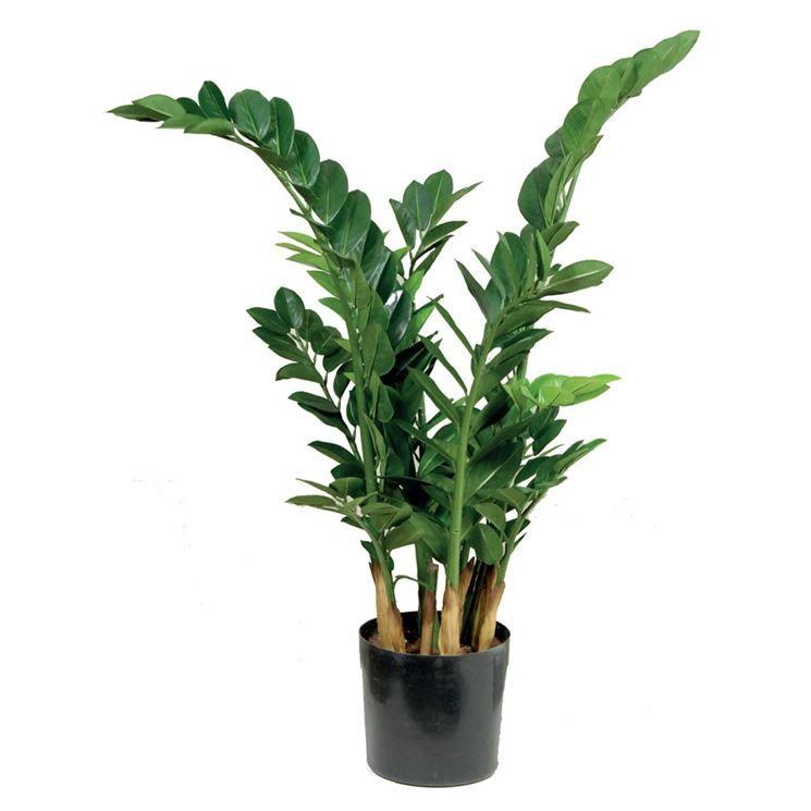 Pianta Da Appartamento Zamiifolia.Zamia Zamioculcas Zamiifolia Zamioculcas Zamioculcas