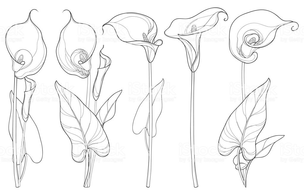 Image Result For Parts Of A Calla Lily Diagram Lilies Drawing Calla Lily Tattoos Flower Line Drawings