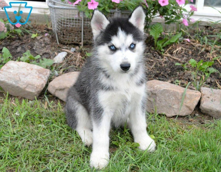 All About Intelligent Siberian Husky Dogs Exercise Needs